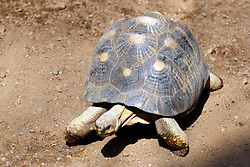 14 May 2013:   Radiated Tortoise. This animal is a captive animal and well cared for by a zoo.