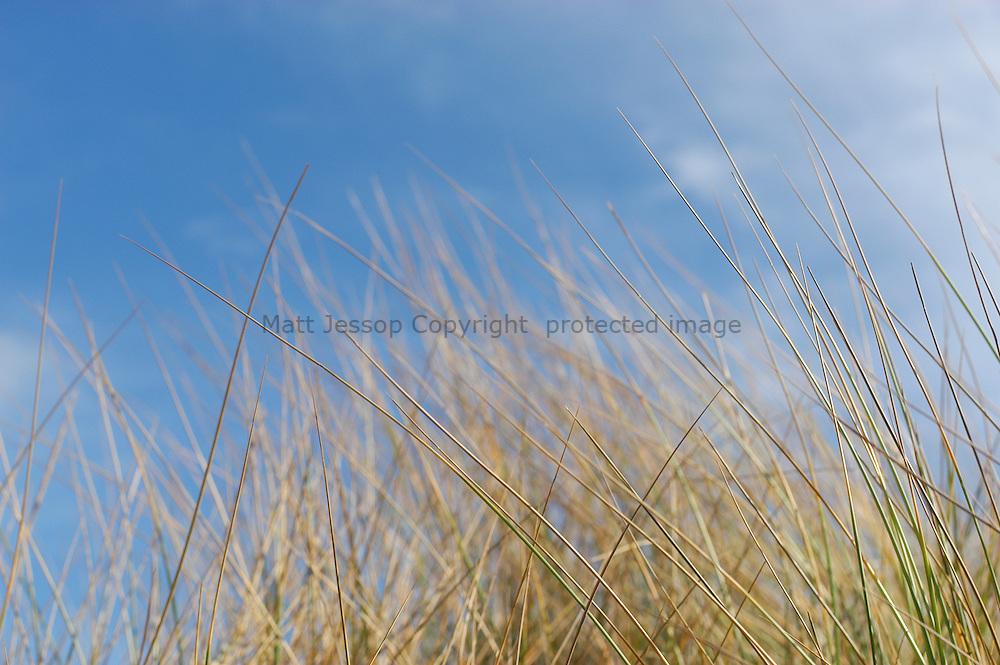 Dune grass on blue
