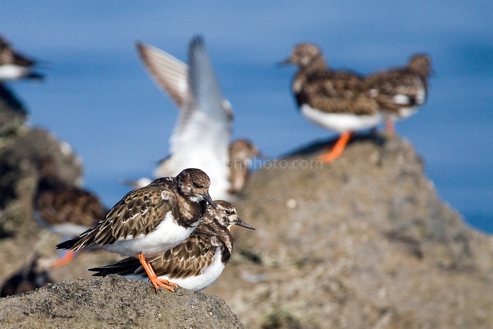 Turnstones on the Rine Peninsula, near Ballyvaughan, Co. Clare, Ireland