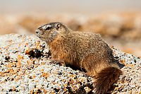 The Yellow Bellied Marmot lives in groups in burrows underground.