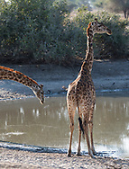 Massai Giraffes (Giraffa camelopardalis) next to a watering hole in Tarangire National Park, Manyara Region, Tanzania, Africa