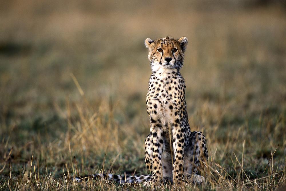 Africa, Kenya, Masai Mara Game Reserve, Cheetah cub (Acinonyx jubatas) sits in short grass in savanna at dawn