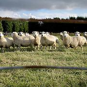 Sheep, family farm, Invercargill, South Island, New Zealand. Photo by Jen Klewitz