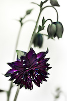 "An Aquilegia Black Barlow, also known as ""Granny's Bonnet"" in full bloom."