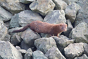 An American mink (Neovison vison) climbs on the rocks above Puget Sound in Anacortes, Washington. Mink are no truly aquatic, but they are good swimmers and are commonly found in riparian, wetland and coastal marine habitats.