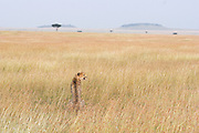 Cheetah<br /> Acinonyx jubatus<br /> Adult female looking out on plains at dusk<br /> Maasai Mara Reserve, Kenya