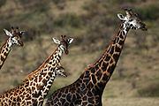 Tanzania wildlife safari giraffes