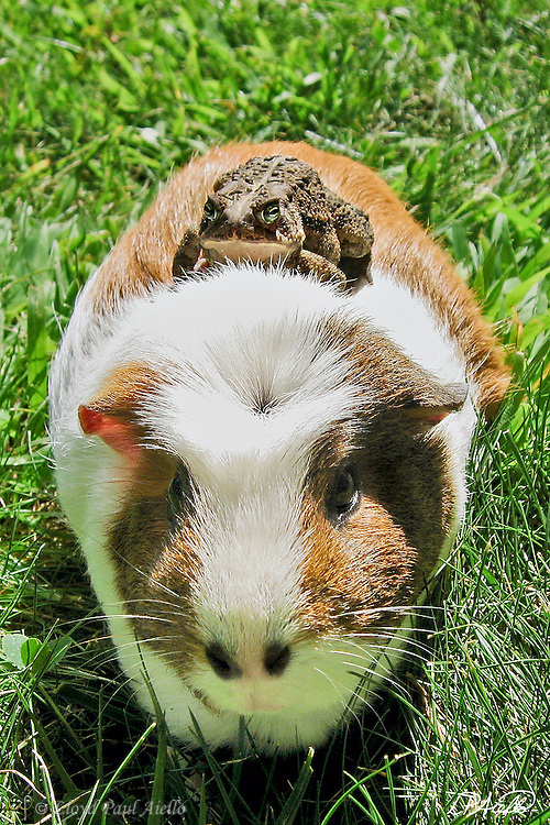 "A common toad  (Bufo bufo) catches a ride on ""Hugs"" the Guinea Pig (Cavia porcellus)."