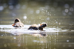 © Licensed to London News Pictures. 05/05/2016. Leeds UK. Ducklings play in this morning's sunshine at Golden Acre park near Leeds. Photo credit: Andrew McCaren/LNP