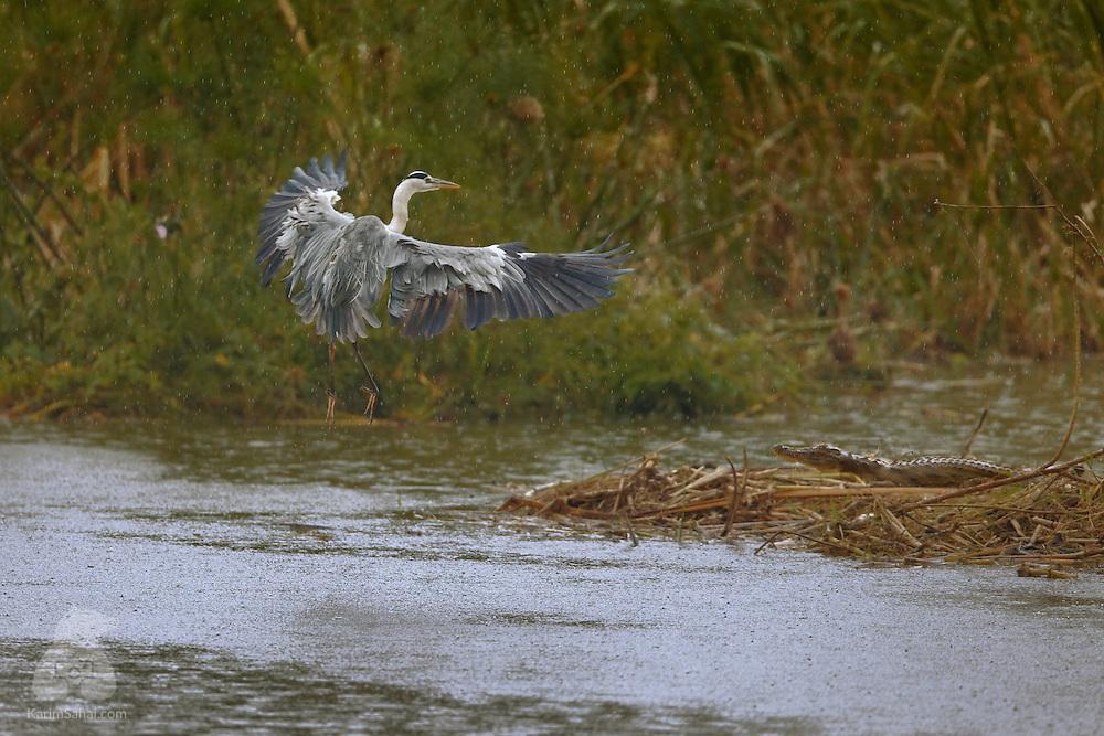 A purple Heron (Ardea purpurea) prepares to land near a crocodile, Kazinga Channel, Queen Elizabeth National Park, Uganda