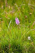 Pyramidal Wild Orchid wildflower, Anacamptis Pyramidalis, near Watendlath in the Lake District National Park, Cumbria, UK