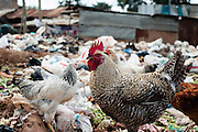 Chicken walk through plastic waste in Kibera slum, Kenya