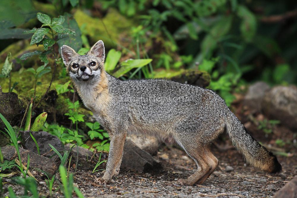 Gray Fox (Urocyon cinereoargenteus) in Monteverde Cloud Forest Preserve, Costa Rica.