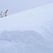 Chinstrap Penguin, (Pygoscelis antarctica) On Candlemas Island. South Sandwich Islands.