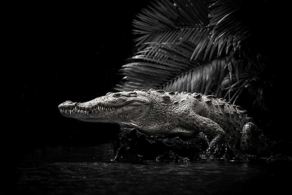 A massive American Crocodile hauls out of the water at the Cuero y Salado refuge in Honduras