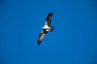 Osprey (Pandion haliaetus), Fishcreek Provincial Park - with fish in claws, Calgary, Alberta, Canada