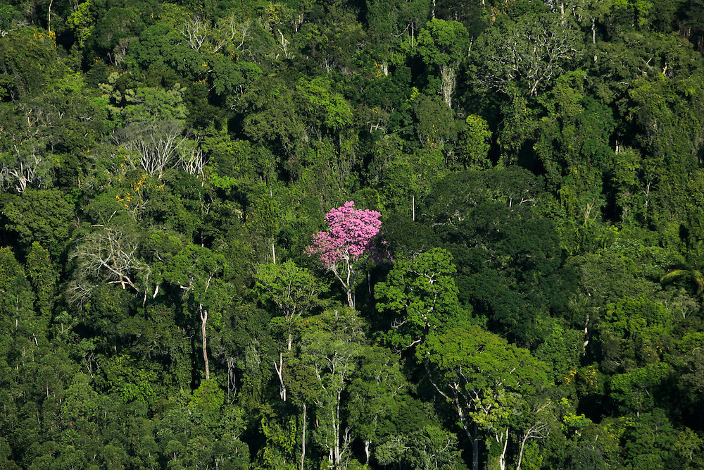 Aug. 21, 2005. A lone Ipê roxo (Tabebuia.avellanedae)  tree stands amidst the other trees of the Amazon rainforest. ©Daniel Beltra