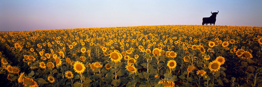 SPAIN, LA MANCHA, AGRICULTURE sunflowers and famous 'Osborne Brandy Bull'