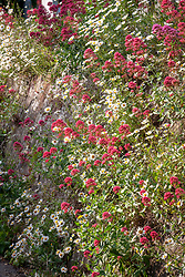 Centranthus ruber growing with daisies in a churchyard wall - Red Valerian