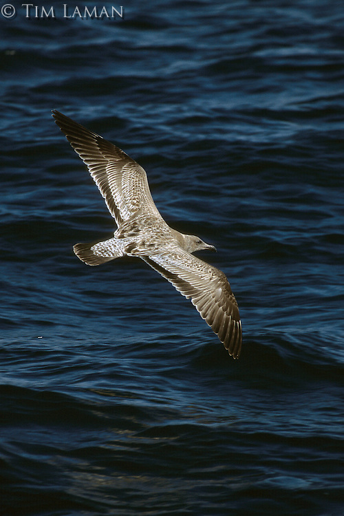 A California gull (Larus californicus) flying over the ocean.
