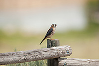 A male American kestrel perched on a fence in a northern Utah wildlife refuge.
