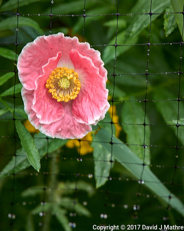 Pink poppy flower after the rain. Backyard summer nature in New Jersey. Image taken with a Leica T camera and 55-135 mm lens (ISO 100, 135 mm, f/5.6, 1/20 sec).