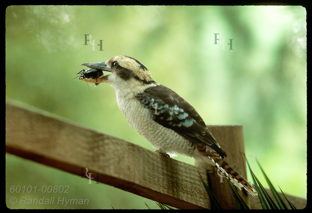 Kookaburra perches on rail fence holding crawdad in beak at zoo in Wagga Wagga, New South Wales. Australia