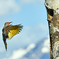 Female Northern Flicker in flight