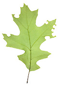 Red Oak Leaf (Quercus rubra) leaf with Leaf-cutter Bee cut (Megachile sp), South Carolina, USA. The leaf is used to line the nest of the leaf-cutter bee.