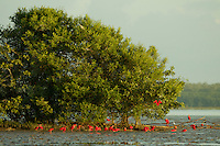 Scarlet Ibises (Eudocimus ruber) foraging under a mangrove tree in the Orinoco River Delta, Venezuela.
