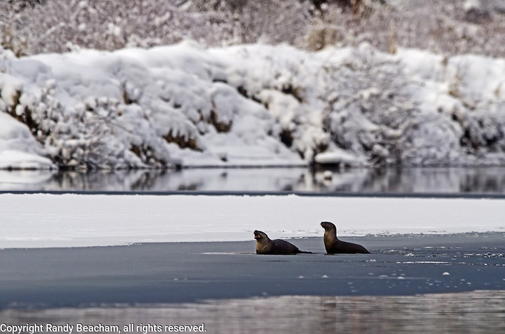 River otters on the Yaak River in late fall. Yaak Valley Montana