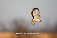 01113-009.08 Short-eared Owl (Asio flammeus) in flight, Prairie Ridge State Natural Area, Marion Co., IL
