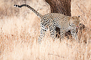 Leopard (Panthera pardus). Photographed in Tanzania