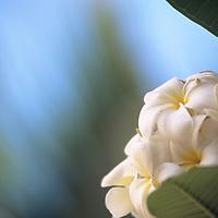 Cook Islands, K?ki '?irani, South Pacific Ocean, frangiapani, plumeria, blossoms