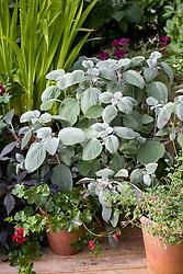 Plectranthus argentatus 'Silver Shield' grown in a pot