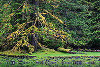 Lush rainforest patterns in Anna Inlet, Queen Charlotte Islands, BC, Canada