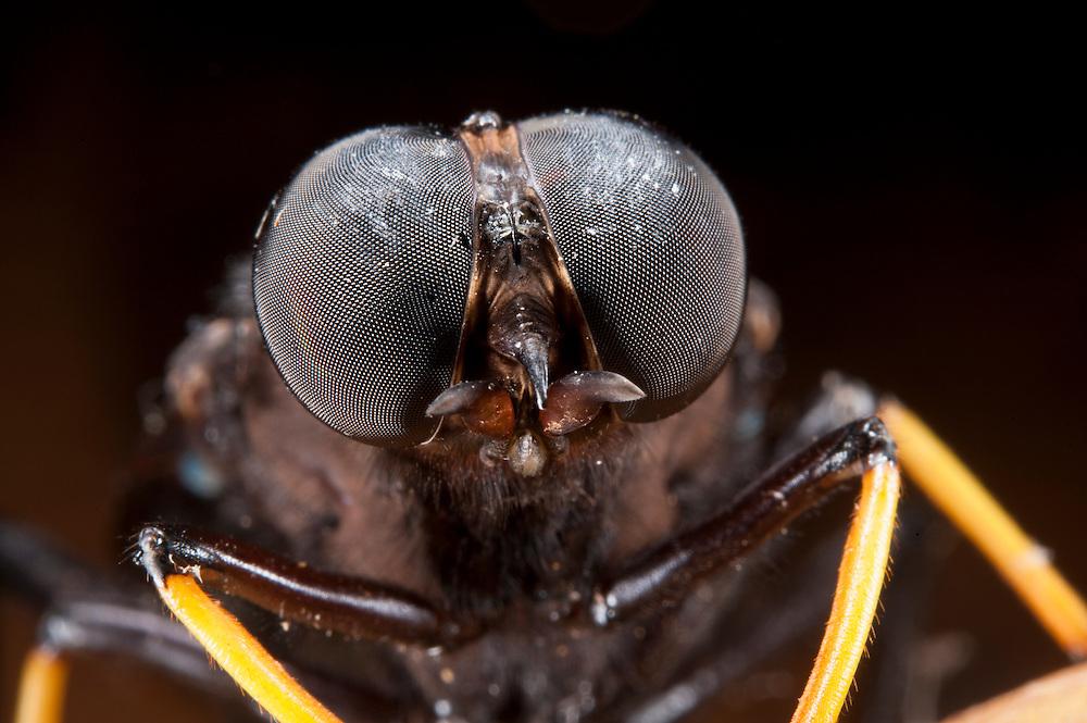 Midas Fly (Mydas sp.)<br /> Yasuni National Park, Amazon Rainforest<br /> ECUADOR. South America