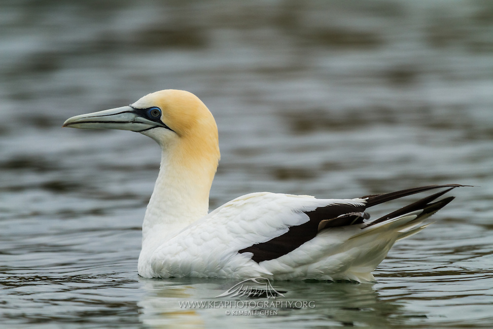 Australasian Gannet at Golden Bay, near Pupona Point, New Zealand