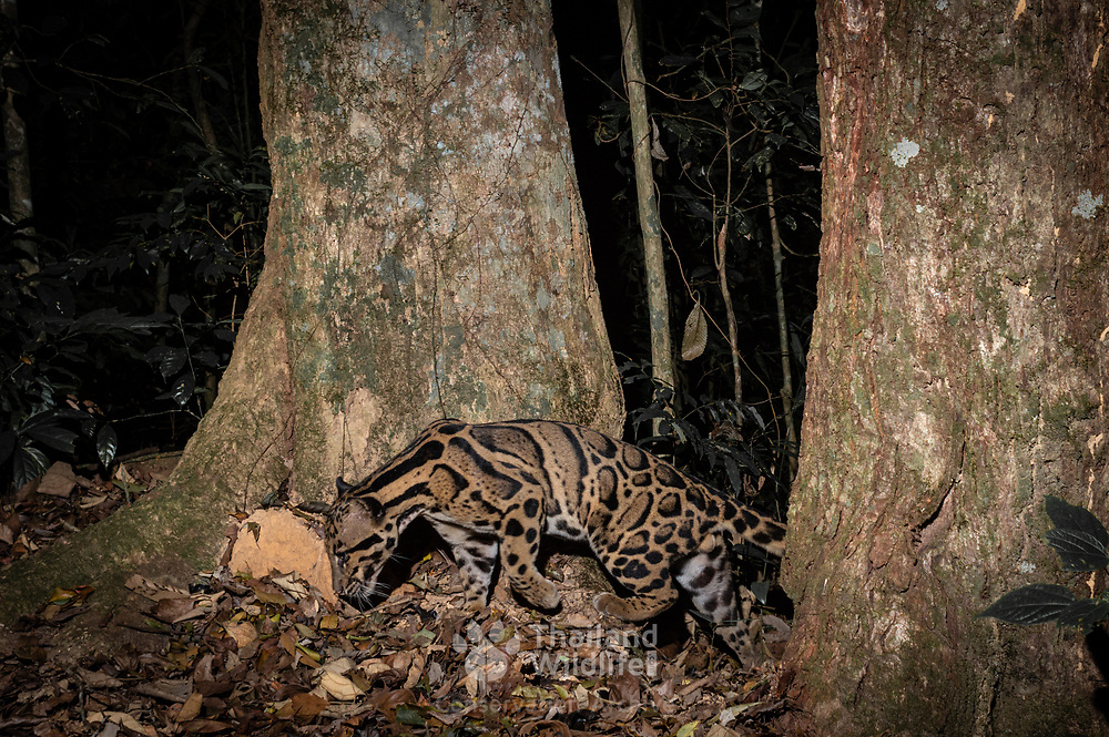 The clouded leopard (Neofelis nebulosa) is a wild cat occurring from the Himalayan foothills through mainland Southeast Asia into China. Since 2008, it is listed as Vulnerable on the IUCN Red List. Its total population is suspected to be fewer than 10,000 mature individuals, with a decreasing population trend, and no single population numbering more than 1,000 adults