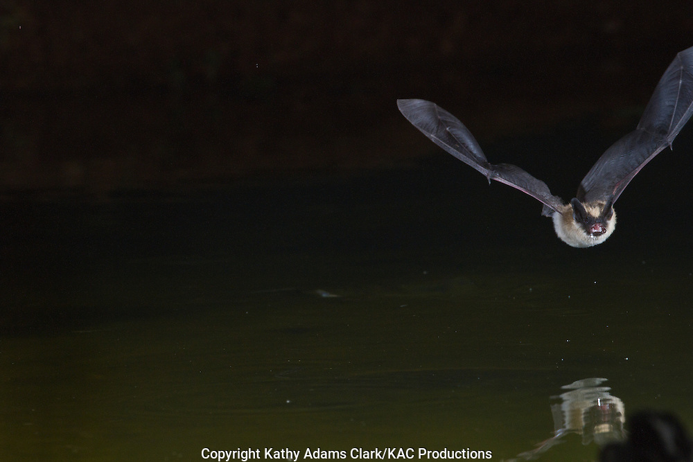 Arizona myotis, Myotis occultus, Bat at night coming in to a pond of water for a drink, southern Arizona, during the summer.
