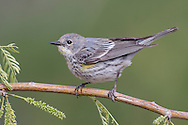 Yellow-rumped Warbler - Setophaga coronata (Audubon's) - Adult female