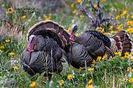 Tom turkeys in breeding plumage in Great Basin National Park, Nevada, USA