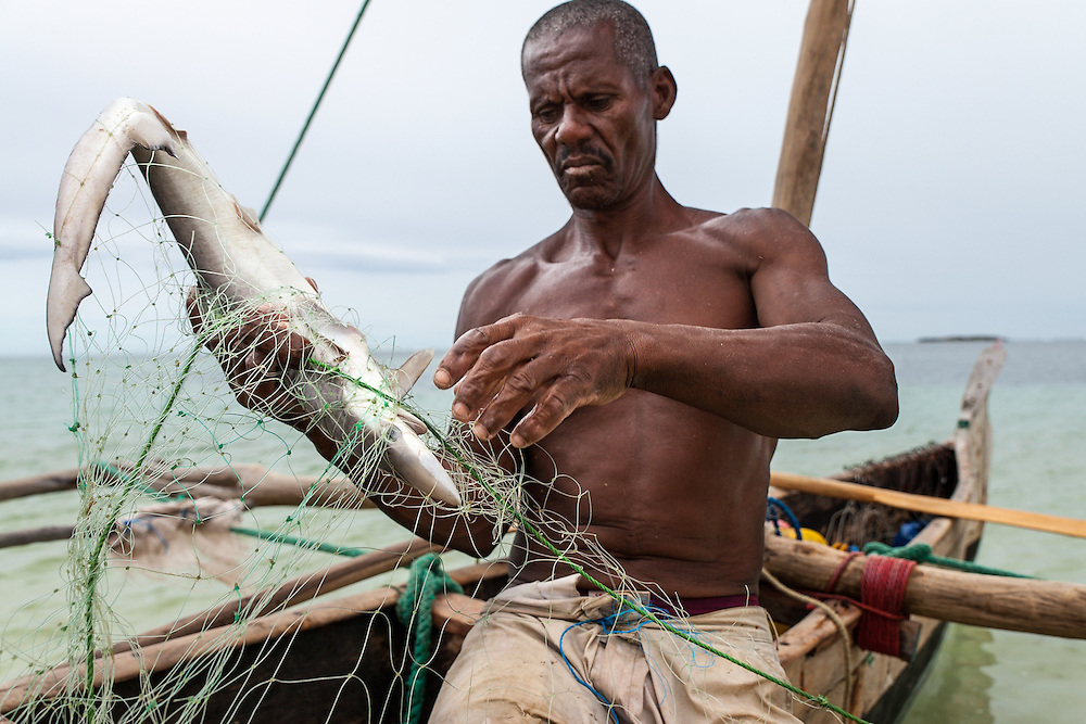 Francois, a traditional fisherman in his sixties who has targeted sharks for 30 years, pulls a juvenile shark from his gill net.  15 years ago he caught adult sharks - tiger, hammerhead and great whites - that were too large to pull into his pirogue.  But overfishing, driven my strong Chinese demand for shark fins since the early 1990's, has led to the collapse of local populations.  In response, he has migrated over the last decade to find them.