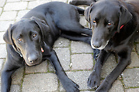 2014 March 20:  Winery dogs, two black labrador retrievers at the von Strasser Winery in Calistoga. Spring in the Napa Valley wine region.  Stock Photos