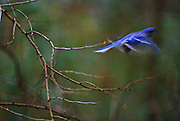 Blue Jay in flight - Mississippi.