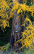 Birdhouse for waterfowl on a western larch in fall. Yaak Valley Montana