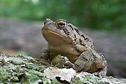 American Toad; Anaryxus americanus; in leaf litter; PA, Philadelphia, Fairmount Park, Wissahickon