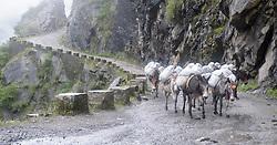 THEMENBILD - Trekkingtour in Nepal um die Annapurna Gebirgskette im Himalaya Gebirge. Das Bild wurde im Zuge einer 210 Kilometer langen Wanderung im Annapurna Gebiet zwischen 01. September 2012 und 15. September 2012 aufgenommen. im Bild eine Karawane von Maultieren // THEME IMAGE FEATURE - Trekking in Nepal around Annapurna massif at himalaya mountain range. The image was taken between september 1. 2012 and september 15. 2012. Picture shows mule caravan, NEP, EXPA Pictures © 2012, PhotoCredit: EXPA/ M. Gruber