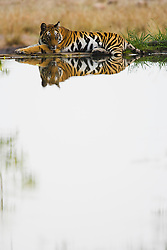 A Bengal tiger (Panthera tigris tigris) laying on the edge of a water hole in the shade on a hot summer afternoon, Bandhavgarh,Madhya Pradesh,India
