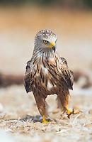 RED KITE (Milvus milvus), Campanarios de Azaba Biological Reserve, Salamanca, Castilla y Leon, Spain, Europe